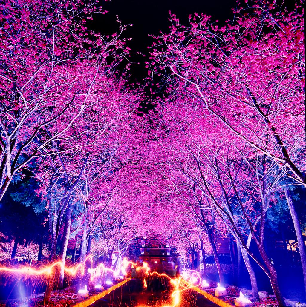 九族文化村の夜桜