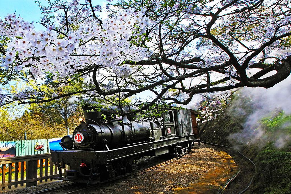 阿里山火車と桜