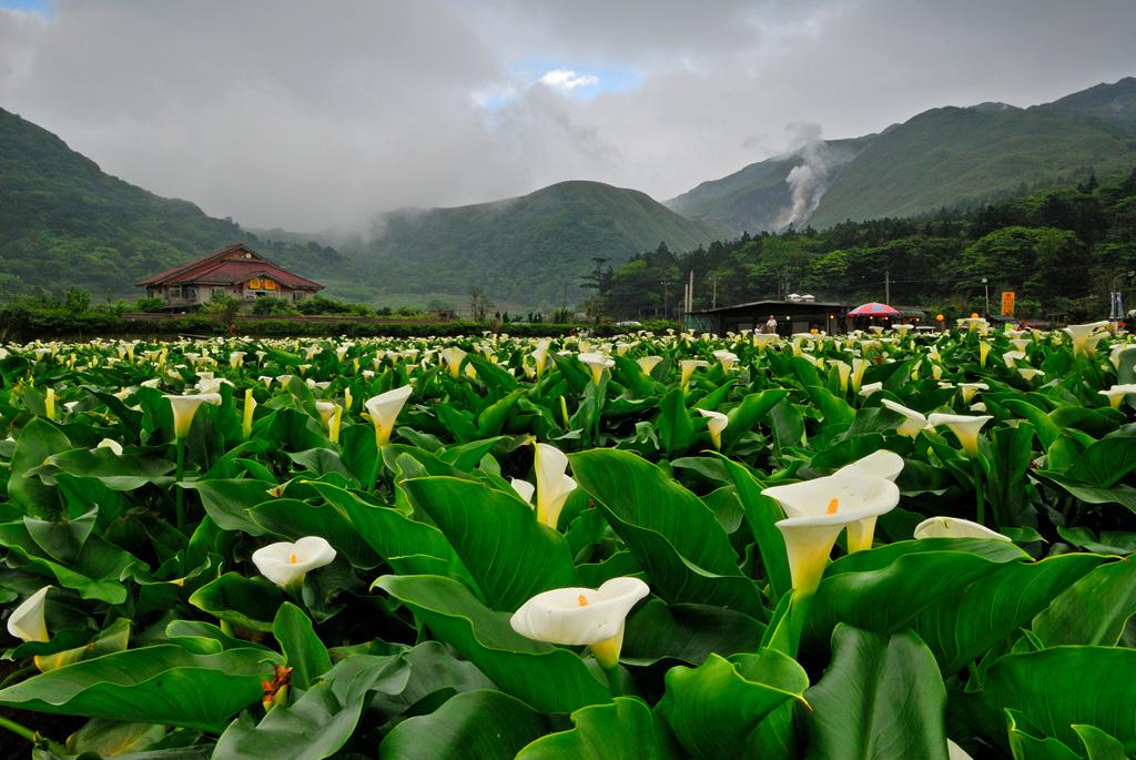 竹子湖のカラーリリー
