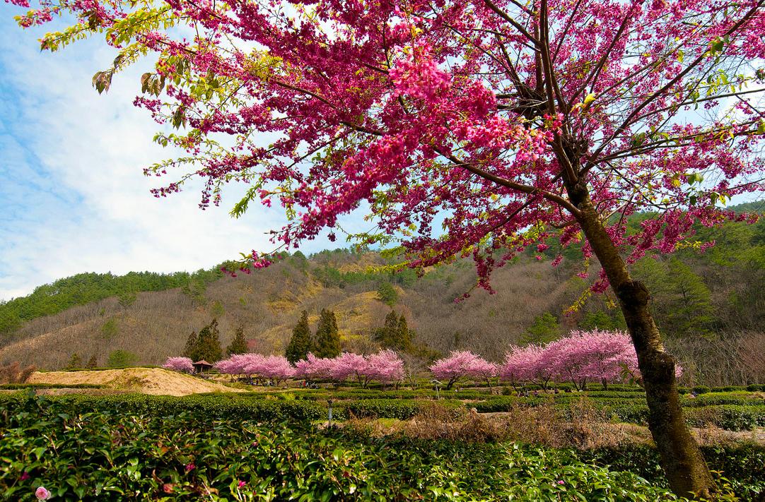 桜の花の美景