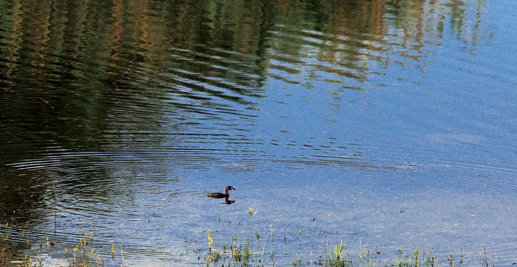 半屏湖でのカイツブリ