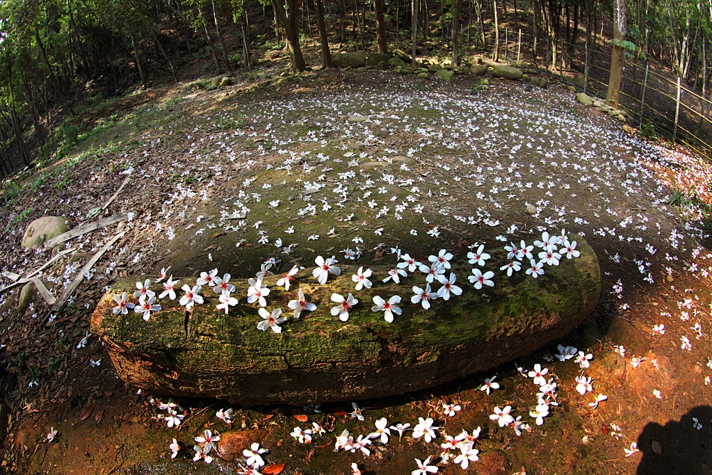 桐の花の美しさ