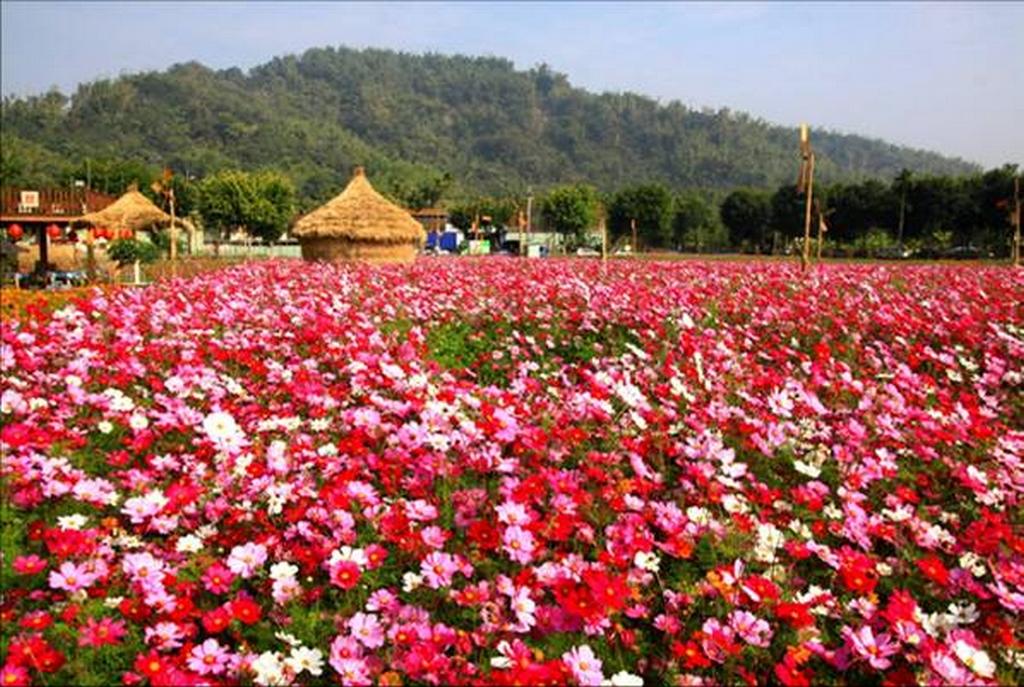 和平ガーデンのコスモス