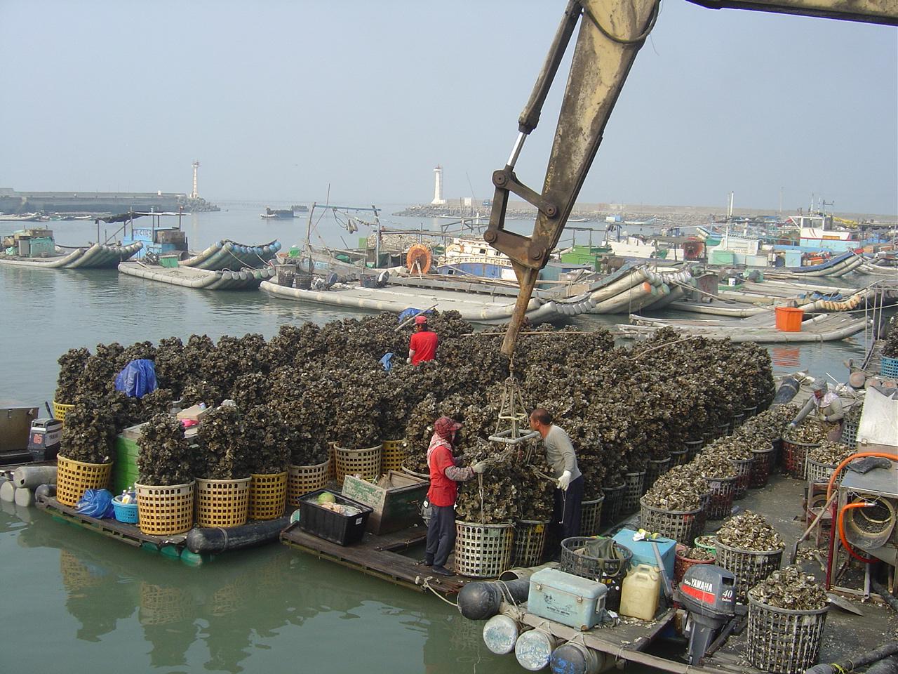 台西漁港はカキの養殖が盛んです