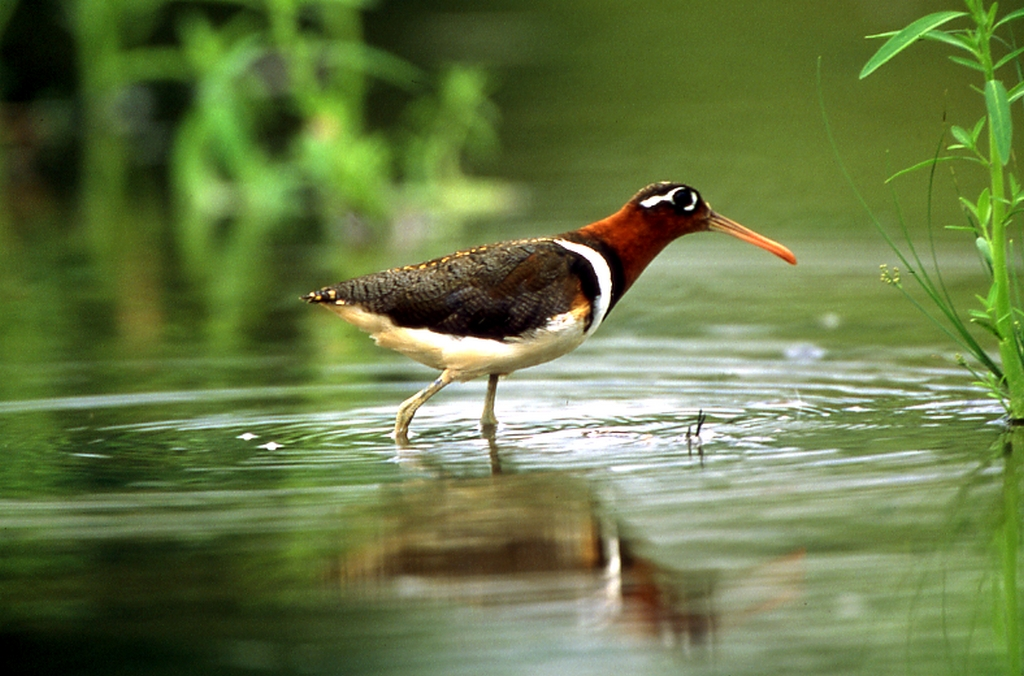高美湿地風景区の鳥