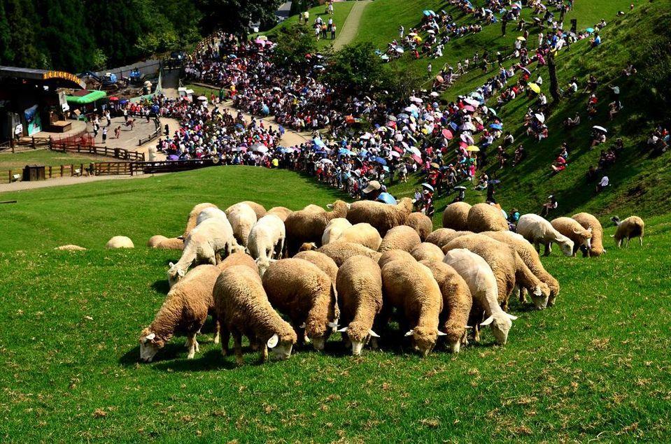 清境農場の羊