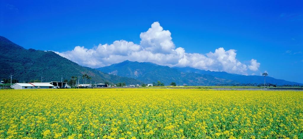 菜の花の田園