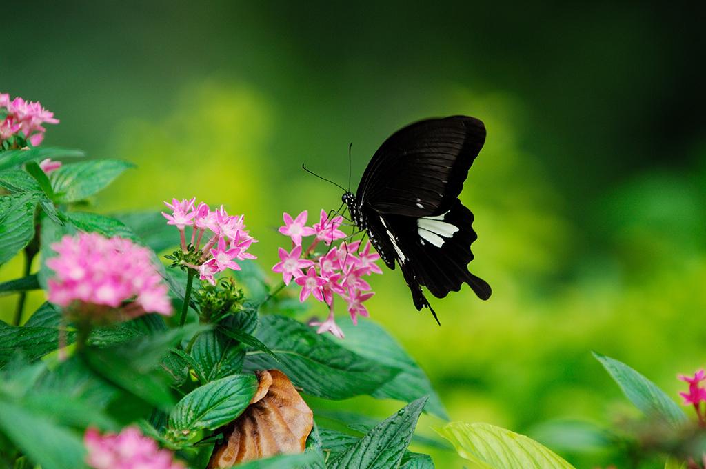 シロオビアゲハ(玉帯鳳蝶)