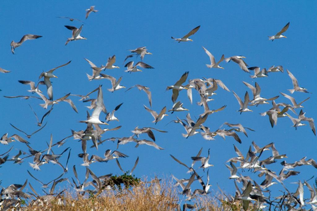 アジサシの生態観察-馬祖島クルージング