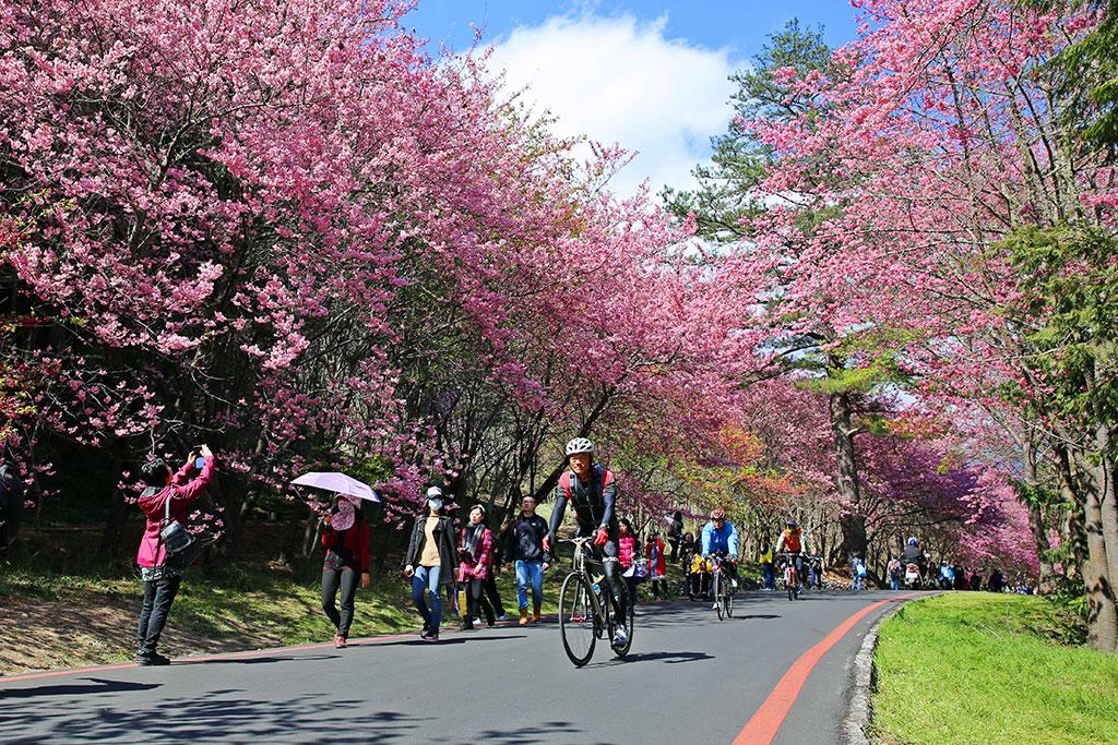 武陵路为粉红拍照胜地