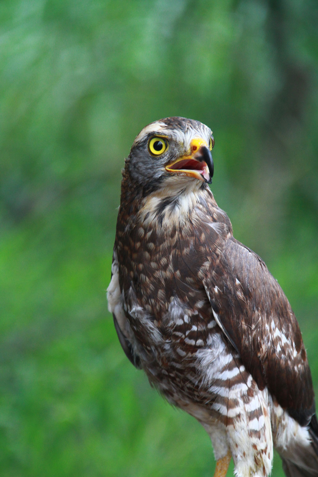 灰面鵟鹰(亚成鸟,尚未完全成长)的睥睨英姿