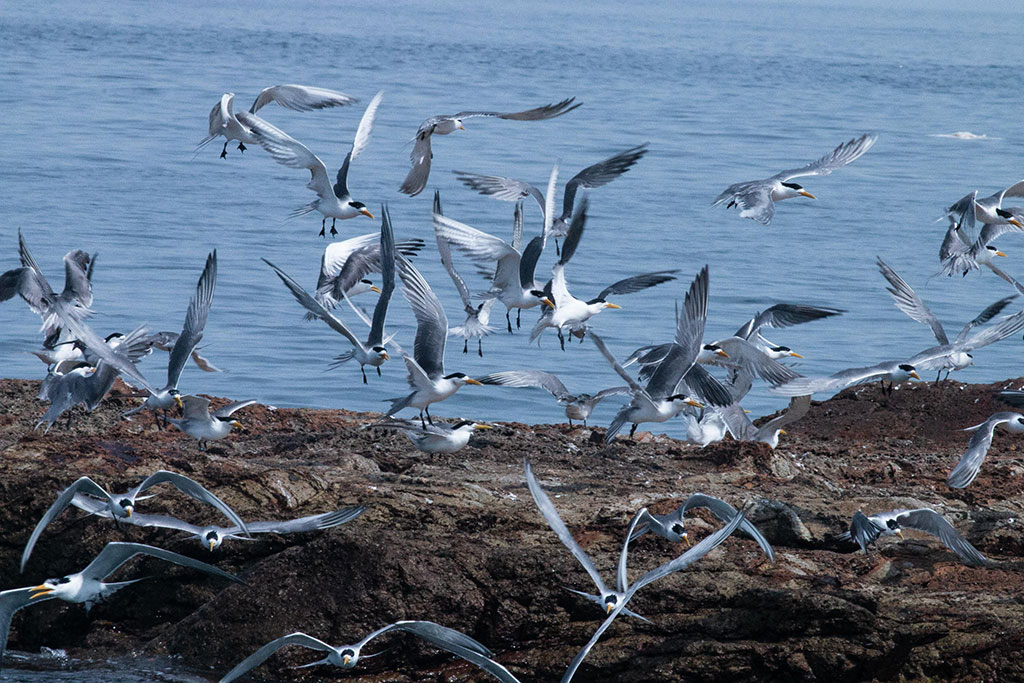 2020アジサシの生態観察-馬祖島クルージング