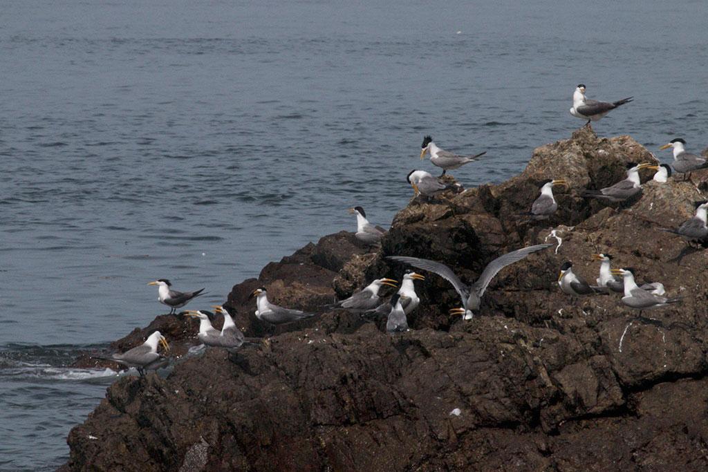 贴近大海,近距离观赏各种燕鸥生态
