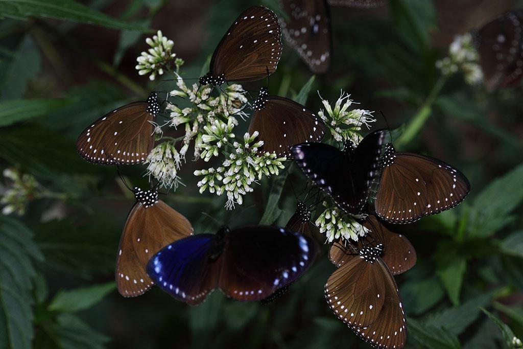 高士佛泽兰上的紫斑蝶