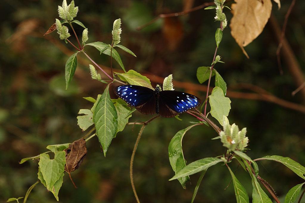 台湾鳞球花上的端紫斑蝶