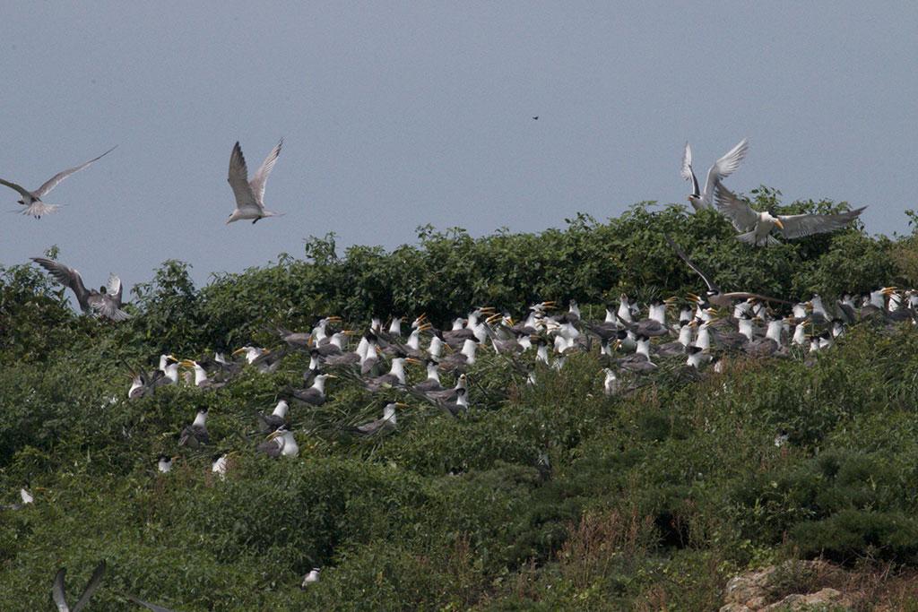 仔细看可以找到传说中的神话之鸟-黑嘴端凤头燕鸥