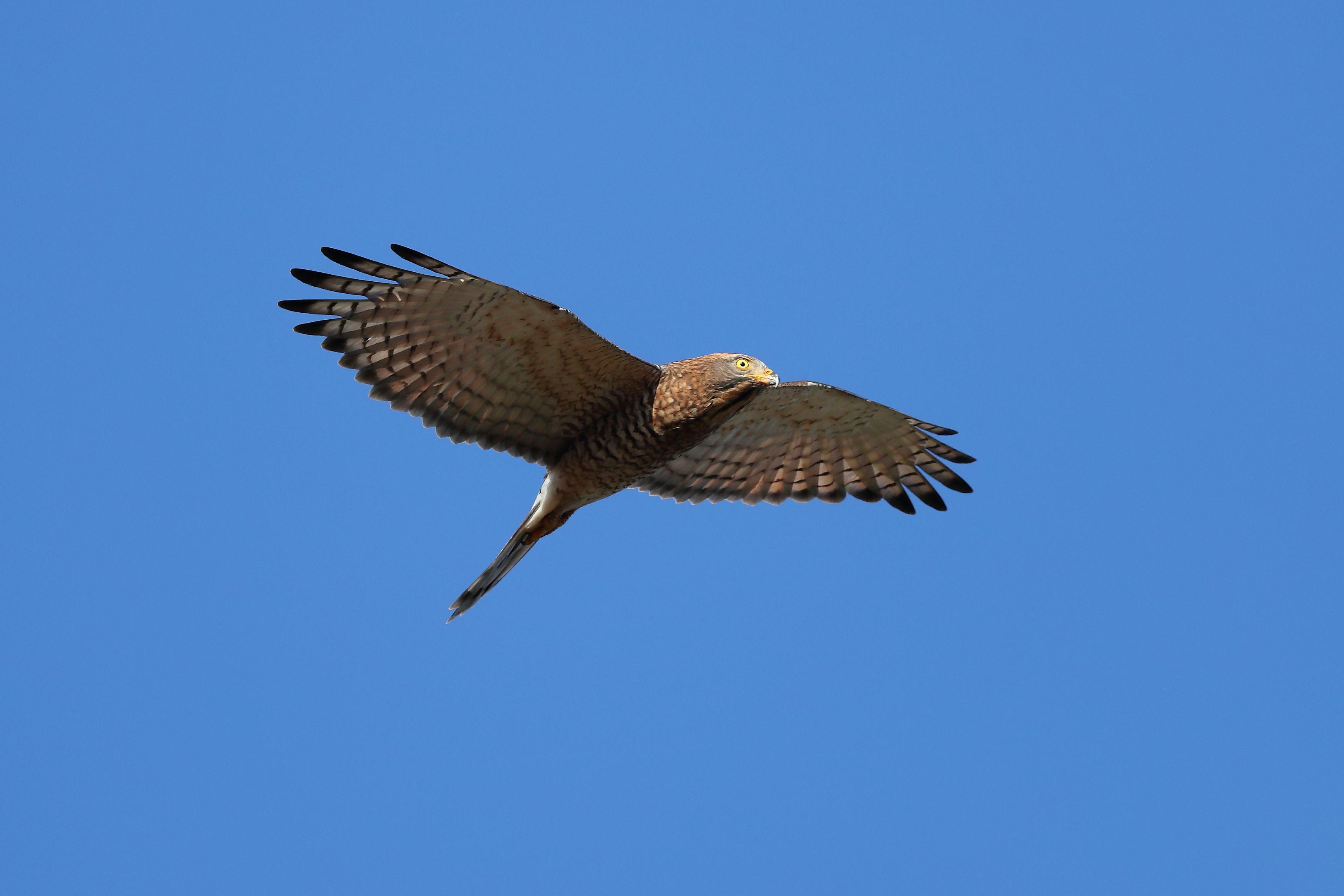 观音四秀-灰面鵟鹰飞翔英姿