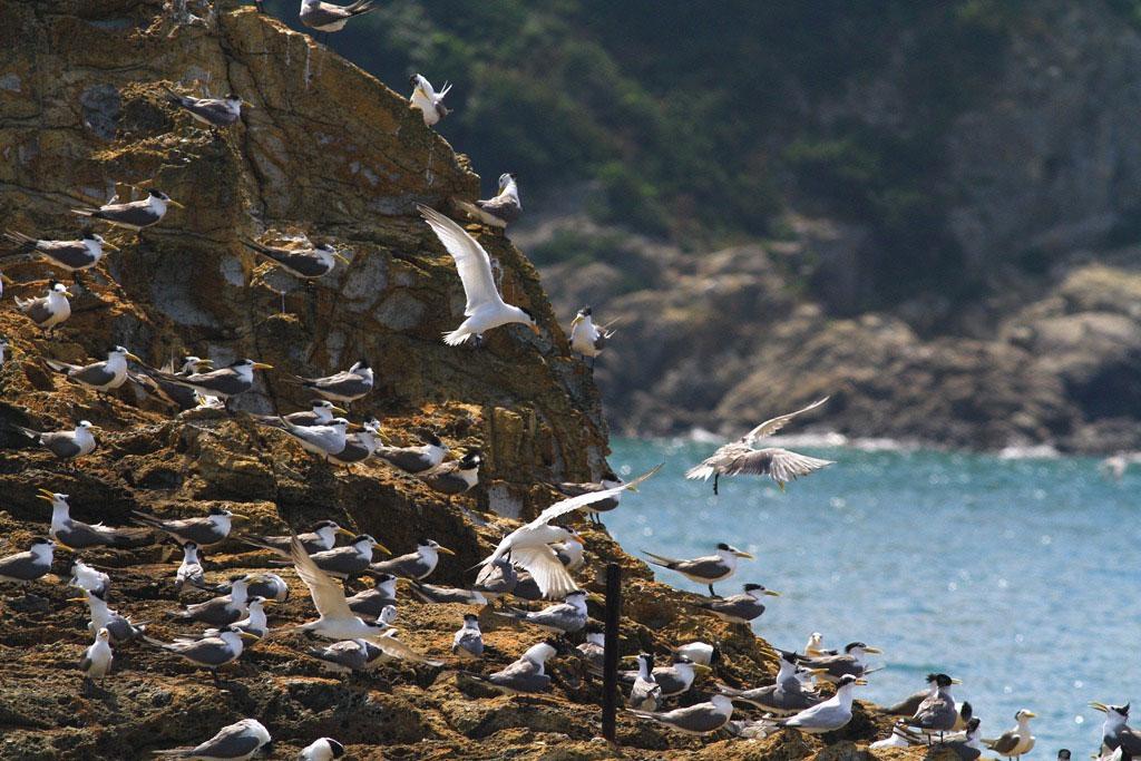 アジサシの生態観察-馬祖島クルージング(1)