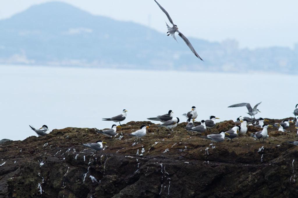 2018アジサシの生態観察-馬祖島クルージング_02