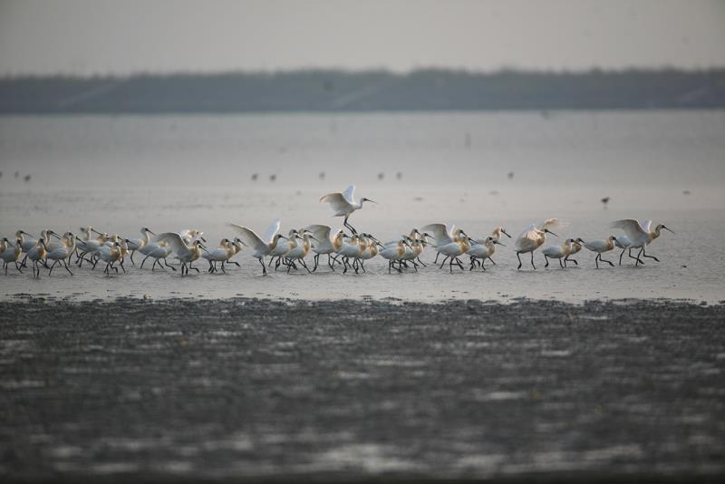 クロツラヘラサギ保護エリア