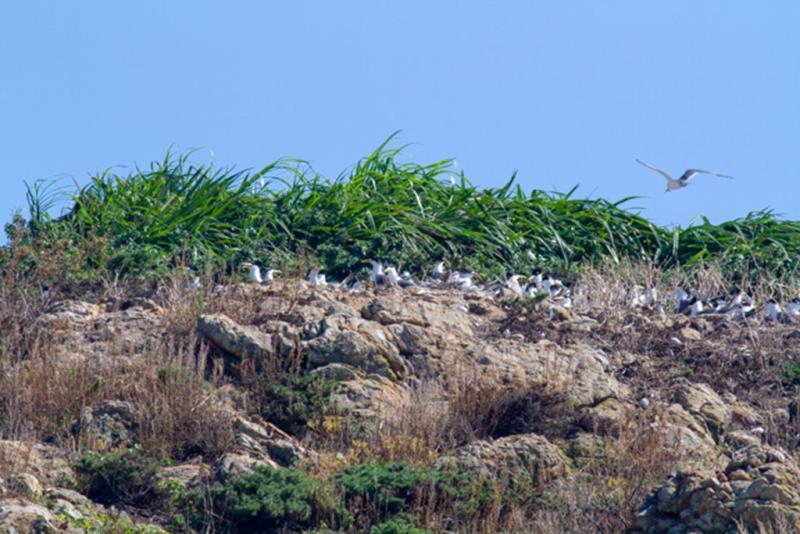 樹に巣を作るオオアジサシ