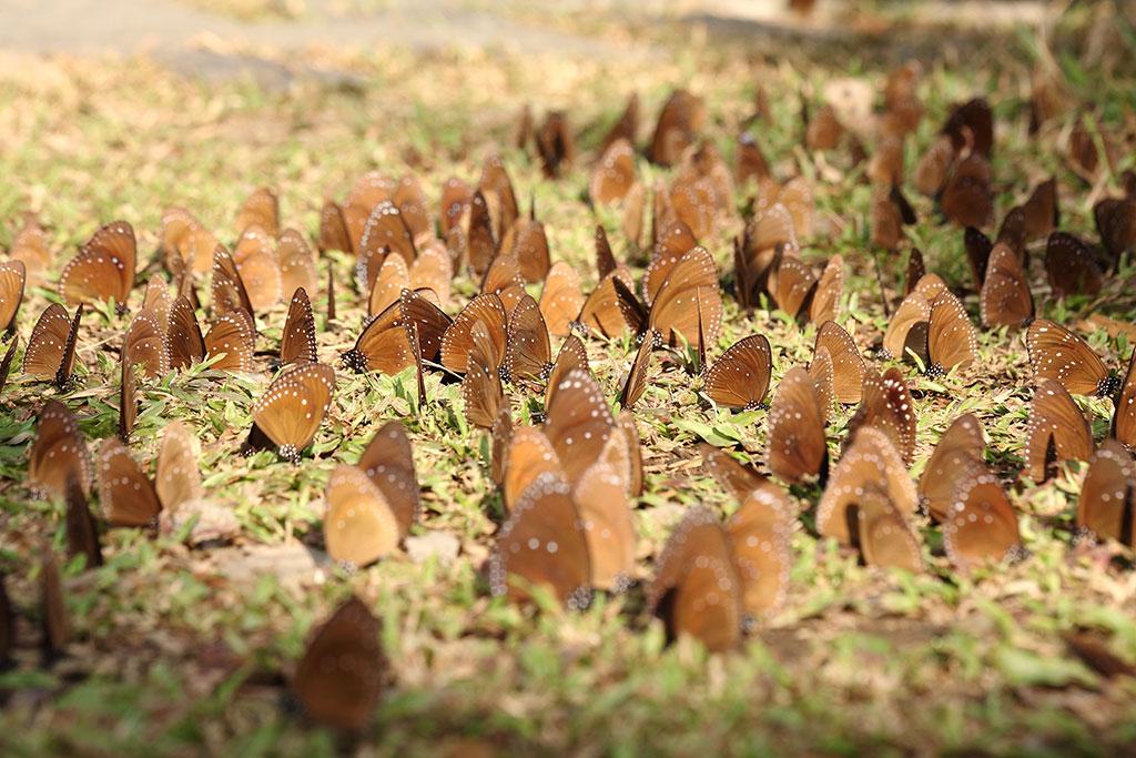 ルリマダラ  年度:2018-19  写真提供:茂林国家風景区管理処