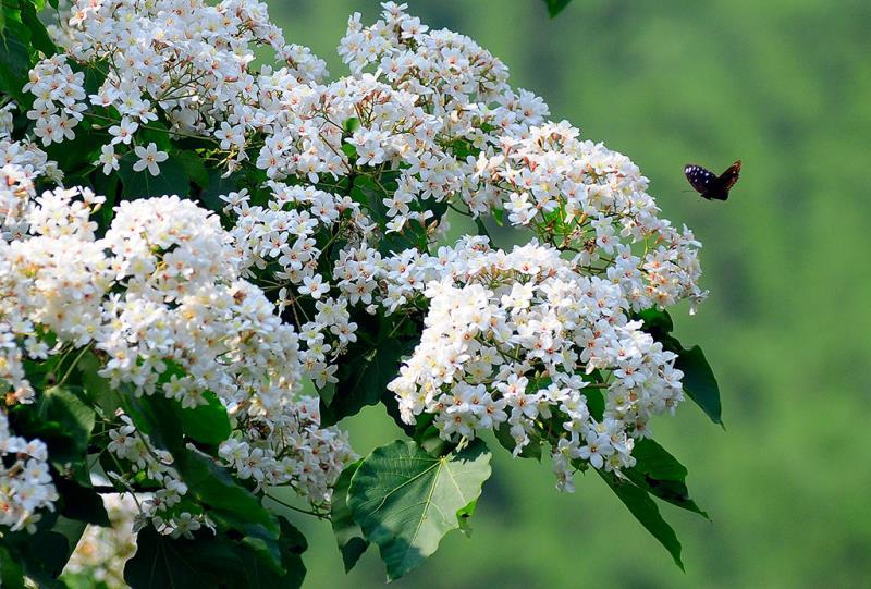 蝶と桐の花