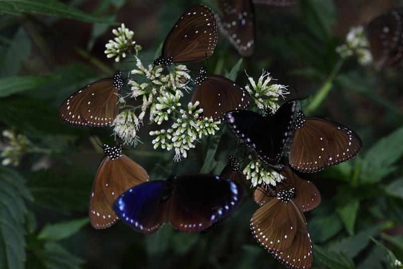 高士佛澤蘭とルリマダラ  年度:2018-19  写真提供:茂林国家風景区管理処